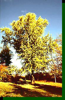 Bartram Ginkgo (photo © John Bartram Association)