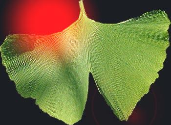 Ginkgo leaf (photo Cor Kwant)