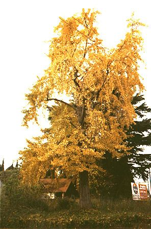 Ginkgo in Buenos Aires (photo Andres Ferrari)