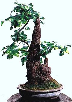 Ginkgo stalactite bonsai depicted on a stamp of the People's Republic of China 1981