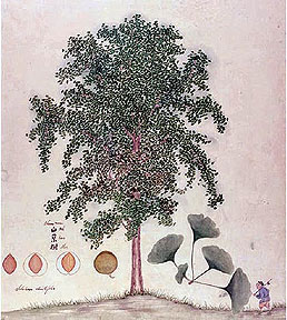 Ginkgo with small figure -  Fortune 1850s