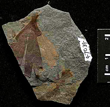 Ginkgo sp. Upper Triassic, East Greenland (photo The Field Museum)
