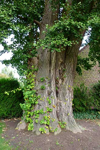 Ginkgo Geetbets trunk (photo Cor Kwant)