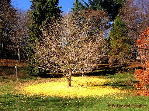 Ginkgo at Arnold Arboretum (photo Peter del Tredici)