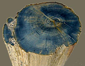 Ginkgo petrified wood Arizona (photo Cor Kwant)