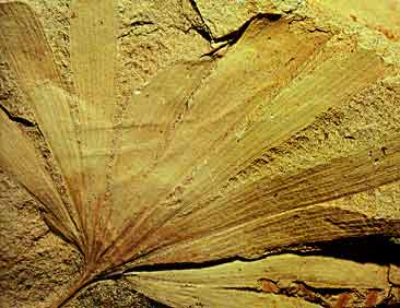 Ginkgo semirotunda, Triassic, Benolong, Australia