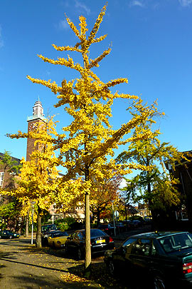 Ginkgo biloba tree (photo Cor Kwant)
