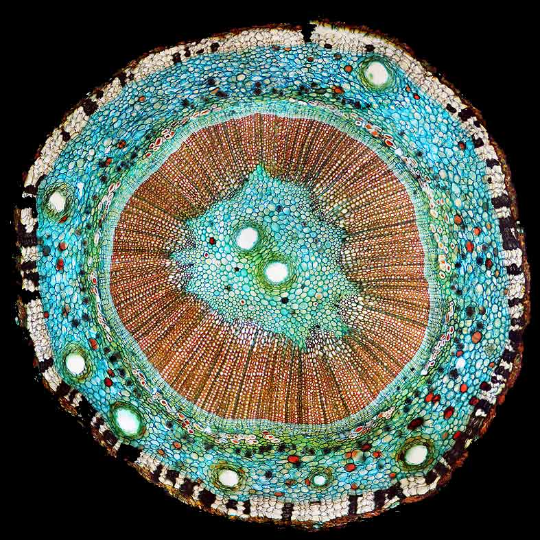 Ginkgo biloba stem cross section