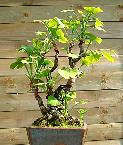 Ginkgo  bonsai (photo Daan Giphart)