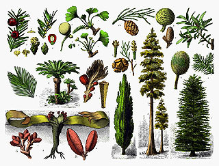 Gymnosperms (picture: Wikipedia)