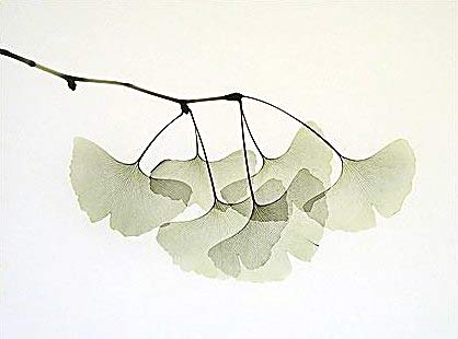Ginkgo leaves X-rayography (image Albert Koetsier)