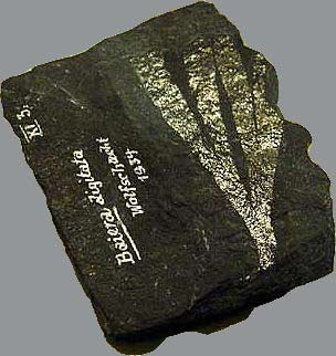 Ginkgo fossil Perm Kupferschiefer Germany (photo Cor Kwant)