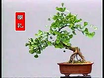 Ginkgo bonsai nursery in China