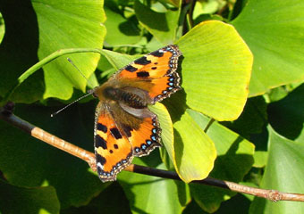 Butterfly on Ginkgo leaf (photo © Cor Kwant)