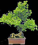 Ginkgo bonsai (photo HeMeng)