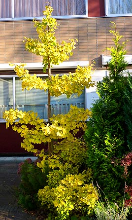 Ginkgo tree in garden (photo Cor Kwant)