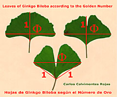 Ginkgo Golden Number (picture  © Rojas)