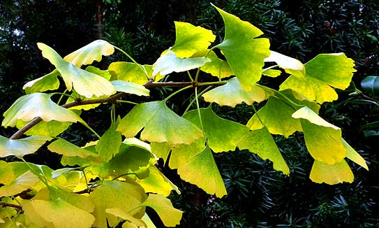 Ginkgo leaves (photo Cor Kwant)