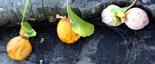 Minobusan ohatsuki leaves (photo S. Kato)
