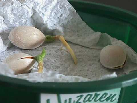 seed germination (kitchentowel-method)