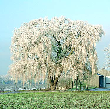 willow in winter (photo Cor Kwant)