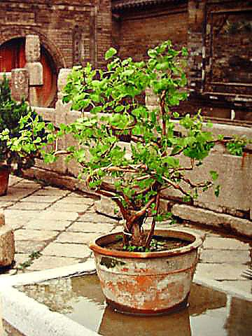 bonsai Xi'an, China (photo Marc Bautry)